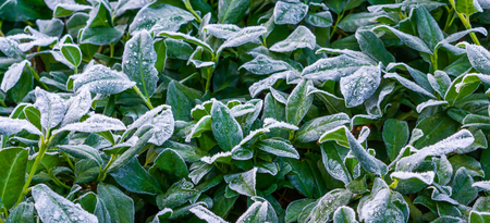 bush of frozen laurel leaves covered in snow crystals, beautiful winter season or christmas background