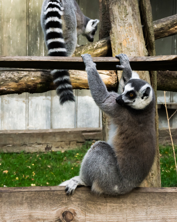 funny ring tailed lemur monkey, playing and swinging on a wooden plank