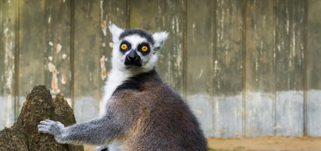 funny ring tailed lemur with his face in closeup, a tropical endangered monkey from madagascar