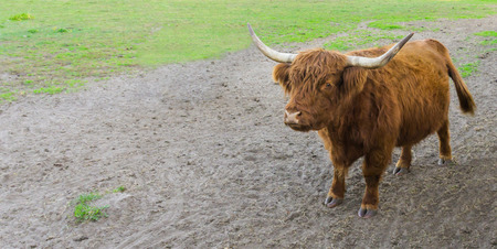 portrait of a brown highland cow with big horns standing in the sand