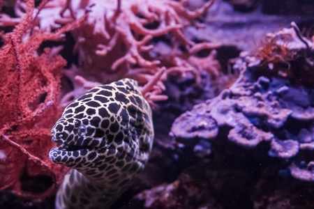 funny honeycomb moray eel sneaking out of its hideout, a tropical fish from the pacific ocean