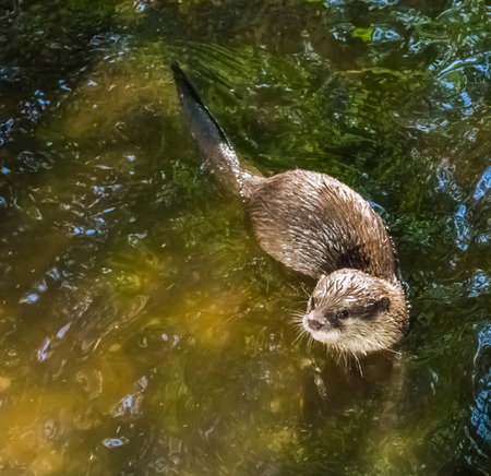 common eurasian otter swimming in the water Banco de Imagens