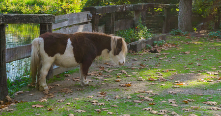 brown with white shetland pony standing in the pasture Banco de Imagens