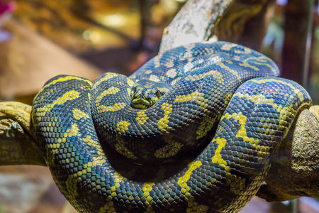 yellow with black coiled up snake on a branch, closeup of a tropical reptile