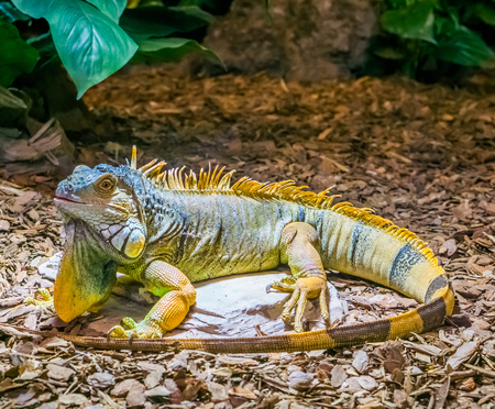colorful iguana with banded tail and a beard, yellow brown orange colors, popular tropical pet from America, beautiful closeup portrait