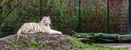White tiger laying on a hill, pigment variation of the bengal tiger, Endangered animal from India