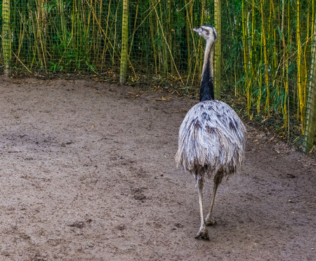 grey American rhea walking in the sand, view from behind, Near threatened animal specie from America, big flightless bird