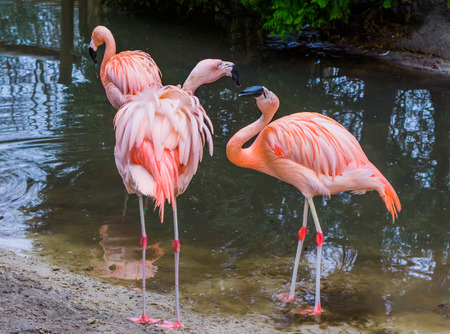 one chilean flamingo expressing dominant and aggressive behavior, the other flamingo looking scared and frightened, tropical birds from America