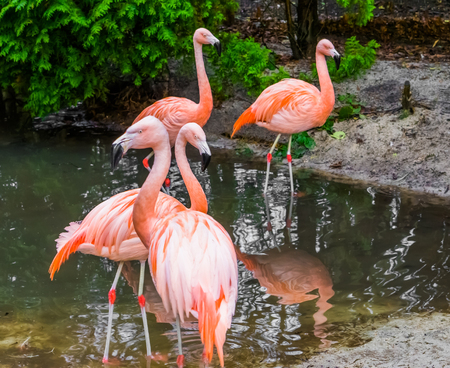 group of chilean flamingos together, tropical birds from America