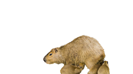 a mother capybara with her baby puppies isolated on a white background