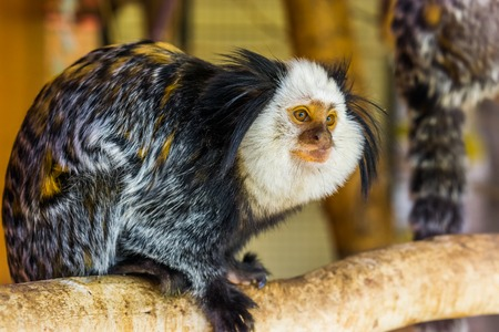 the face of a white headed marmoset in closeup, a tropical monkey from brazil, popular zoo animals