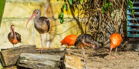 group of glossy ibises together, tropical birds from Eurasia and Africa