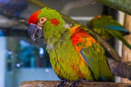 closeup of a red fronted macaw parrot, portrait of a tropical and critically endangered bird from Bolivia 写真素材