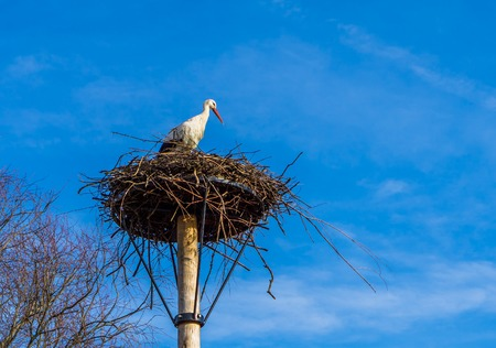 stork sitting in its birds nest, deep blue sky in the background, migrated bird from Africa