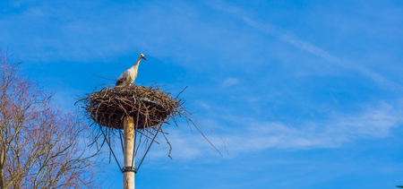 big birds nest with a stork in it, clean and deep blue sky in the background, migrated bird from Africa