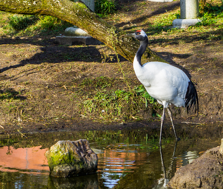 beautiful portrait of a japanese crane walking in the water, Endangered bird specie from Asia Reklamní fotografie