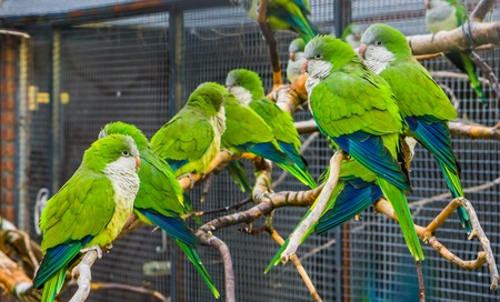 many monk parakeets sitting together on branches in the aviary, popular pets in aviculture, tropical birds from Argentina