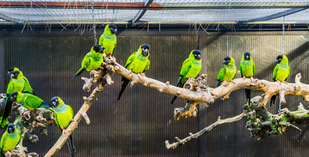 Aviculture, A branch with Nanday parakeets in a aviary, popular pets in aviculture, Tropical small parrots from America