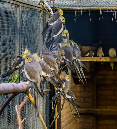 Aviculture, une volière pleine de calopsittes, oiseaux tropicaux à crête d'Australie, animaux de compagnie populaires