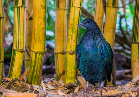 Nicobar pigeon with colorful shiny feathers, beautiful tropical bird from the nicobar islands of India Stok Fotoğraf