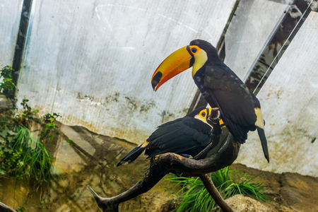 two toco toucans sitting on a tree branch in the aviary, colorful and tropical birds from America