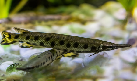 spotted gar, a funny dart shaped fish with a needle nose, tropical fish from the mississippi river basin in America