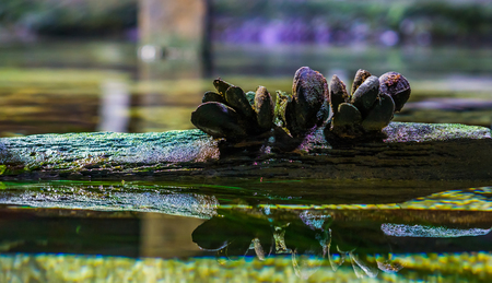 group of common mussels together on a wooden beam reflecting in the water, sea and nature background