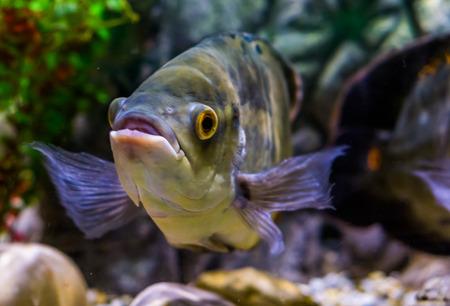closeup of the face of a oscar tiger cichlid , popular pet in aquaculture 版權商用圖片