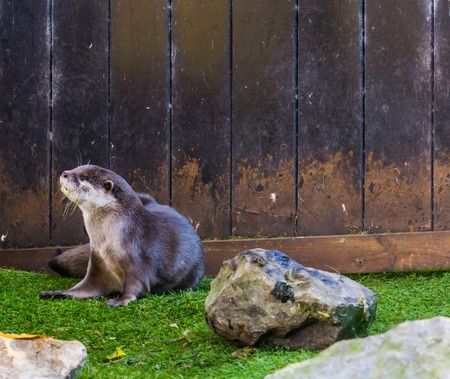 Asian small claw otter sitting down, tropical animal from the wetlands of Asia 写真素材