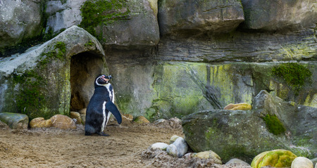 cute humboldt penguin standing in front of his cave, threatened water bird with a vulnerable status, animal specie from the pacific coast