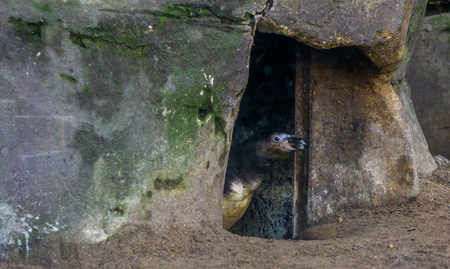 humboldt penguin looking out of his cave, face sneaking out of a bird home, vulnerable animal species