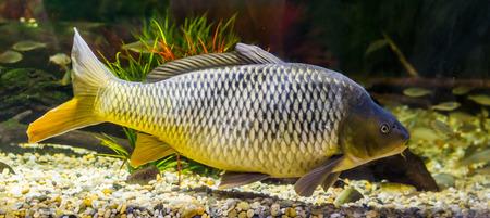 hermosa carpa europea con un brillo dorado en sus escamas, pez popular de las aguas de Eurasia