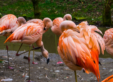 Pink Chilean Flamingo cleaning its feathers, Family of Flamingos together, Near threatened bird specie