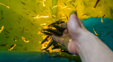 Doctor fishes nibbling death skin from a human hand, popular spa treatments, skin health care