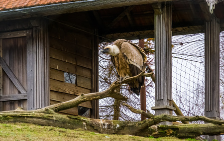 griffon vulture sitting on a tree branch, common bird in the mountains of Eurasia