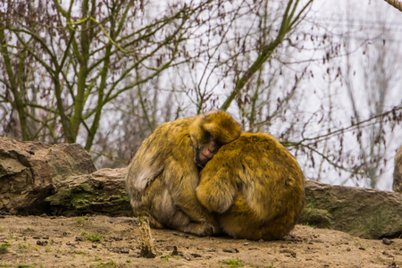 two barbary macaques sitting close together and hugging each other, animal love, Endangered animal specie from morocco