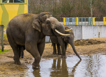 Asian elephants drinking water together, Tusked male elephant putting trunk in his mouth, Endangered animals from Asia