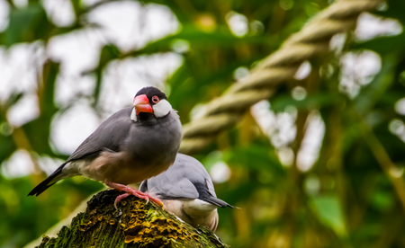 Java rice sparrow sitting on a tree stump, tropical bird from the java island of Indonesia, Endangered bird specie, popular pet in aviculture