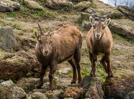 two alpine ibexes standing next to each other, Animals from the mountains of Europe Stock Photo
