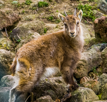 Young alpine ibex standing on some rocks, juvenile animal from the European alps
