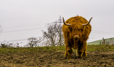 Highland cattle urinating, Scottish cow, popular farm animal Archivio Fotografico
