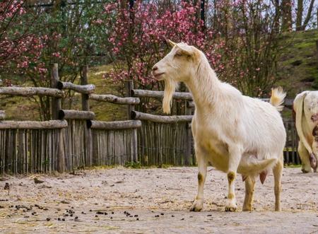 Chèvre blanche mâle avec une barbe, chèvre de lait blanc une race hybride hollandaise populaire, animaux de ferme