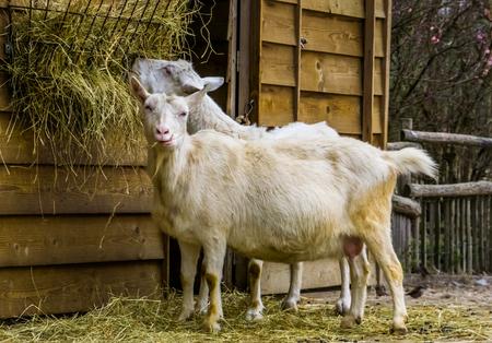 White milk goat a popular dutch hybrid breed, goat eating hay, Farm animal feeding