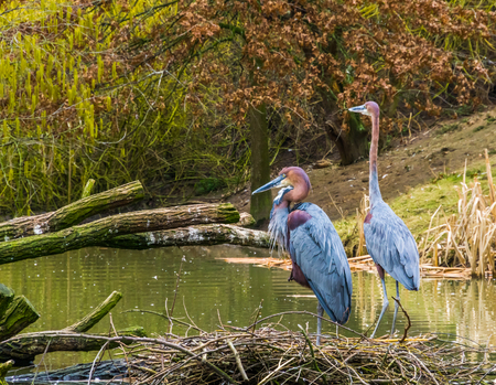 two Goliath herons standing together at the water side, worlds largest heron specie, birds from Africa and Asia