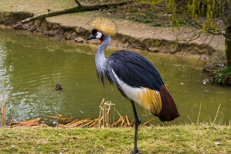grey crowned crane standing at the water side, Endangered bird specie from Africa Stok Fotoğraf