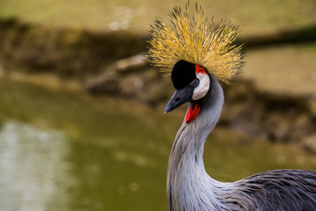 closeup of the face of a grey crowned crane, beautiful tropical bird, endangered animal specie from Africa