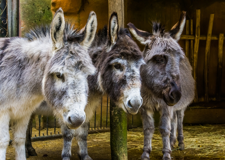 three faces of miniature donkeys in closeup, funny animal family portrait, popular farm animals and pets 版權商用圖片