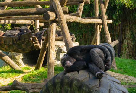 lazy common chimpanzee laying on car tire and scratching its behind, popular zoo animals