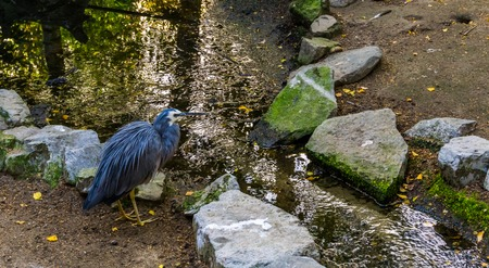 White faced heron standing at a small river, tropical coastal bird from Australia