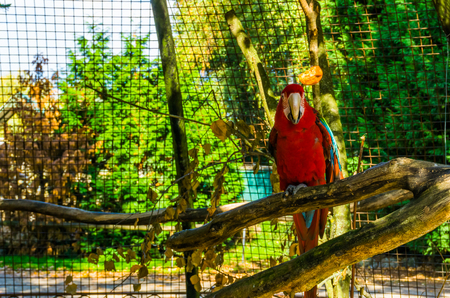 red and green macaw parrot sitting on a tree branch in the aviary, tropical bird from America, popular pet in aviculture